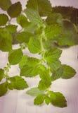 Uitstekende foto, Verse gezonde citroenbalsem op witte houten lijst, herbalism stock fotografie
