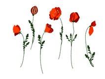 Uitstekende papaverreeks Het huwelijk bloeit bundel Bloeminzameling van waterverf gedetailleerde hand getrokken papavers royalty-vrije illustratie