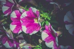 Uitstekende Petuniabloemen Stock Fotografie