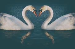 Uitstekende phoyo van romantische twee zwanen, Royalty-vrije Stock Afbeelding