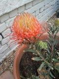 Uitstekende Protea royalty-vrije stock foto