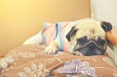 Uitstekende retro kleurenstijl met slaap leuke pug hond Stock Foto's