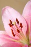 Uitstekende retro stijl roze Lelies stock afbeelding