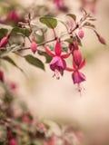 Uitstekende rode purpere Fuchsiakleurig bloem Stock Foto