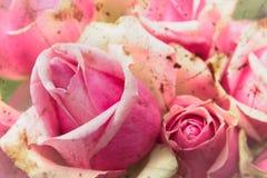 Uitstekende rozen Stock Fotografie