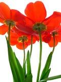Uitstekende tulp Royalty-vrije Stock Afbeelding