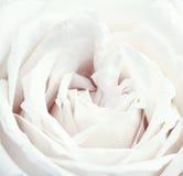 Uitstekende wit nam toe Stock Foto
