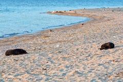 Uitstrekkende hond Free-ranging honden omvatten straathonden, dorpshonden, verdwaalde honden en wilde honden op het strand stock foto