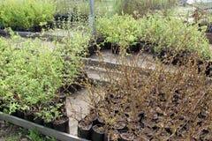 Uitverkoop van spruiten in potten Stock Foto's