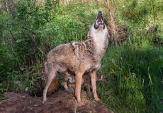 Uivos adultos do chacal (latrans do Canis) Imagem de Stock Royalty Free