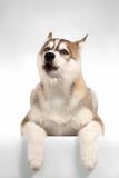 Uivos do cachorrinho do cão de puxar trenós Siberian Imagens de Stock