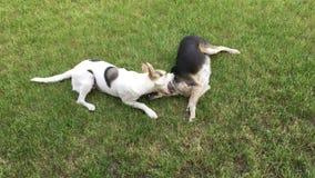 Ukąszenia psa inny pies podczas gdy bawić się plenerowy zdjęcie wideo