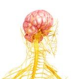 Układ nerwowy ludzki frontowy boczny widok Obrazy Royalty Free