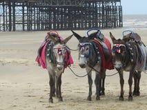 Układu scalonego i szpilki osły przy Blackpool plażą Obrazy Stock