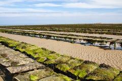 uk łóżko przypływ dżersejowy niski na morzu ostrygowy obraz royalty free