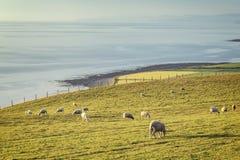 Πρόβατα κατά τη βοσκή στους παράκτιους λόφους στην Ουαλία, UK στοκ εικόνα με δικαίωμα ελεύθερης χρήσης
