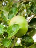 UK που μαγειρεύει την ανάπτυξη της Apple στο δέντρο στον κήπο κοντά επάνω Στοκ φωτογραφίες με δικαίωμα ελεύθερης χρήσης