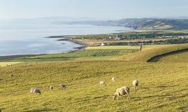 Πρόβατα κατά τη βοσκή στους παράκτιους λόφους στην Ουαλία, UK στοκ φωτογραφίες