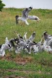 układ scalony target2039_1_ jucznego seagull Obraz Royalty Free