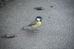 A UK bird called a Common Tit Stock Photography