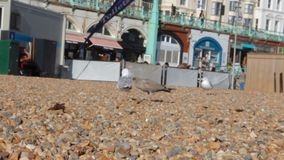 UK, Brighton. Two seagulls walk on pebbles on the ocean coast on the background of the waterfront. stock footage