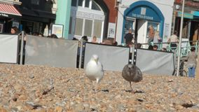 UK, Brighton. Two seagulls walk on pebbles on the ocean coast on the background of the waterfront and toilet. stock footage