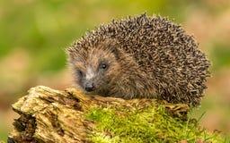 Hedgehog, native, wild UK hedgehog on green mossy log, facing left. UK, European wild hedgehog Erinaceous europaeous which is on green mossy log, facing left royalty free stock image