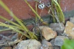 UK giant house spider outside stock photography