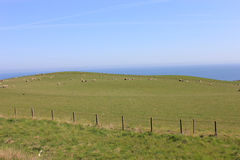 UK grassland no.2. Grassland with lot of sheep in England UK Stock Photography