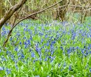 UK Habitats ancient coppiced woodland. UK habitats ancient woodland with coppiced stools and rich ground flora Royalty Free Stock Images