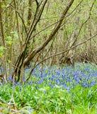 UK Habitats ancient coppiced woodland. UK habitats ancient woodland with coppiced stools and rich ground flora Stock Images