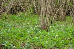 UK Habitats ancient coppiced woodland. UK habitats ancient woodland with coppiced stools and rich ground flora Stock Image