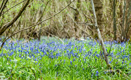 UK Habitats ancient coppiced woodland. UK habitats ancient woodland with coppiced stools and rich ground flora Royalty Free Stock Photos