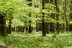 UK Habitats beech woodland. (Fagus sylvatica) in spring sunshine royalty free stock photo