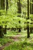 UK Habitats beech woodland. (Fagus sylvatica) in spring sunshine Stock Images