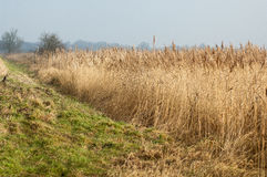 UK habitats reedbed and grassland interface. UK habitats reedbed (Phragmites australis) interface with rough grassland; ideal for small mammals and associated Royalty Free Stock Photo