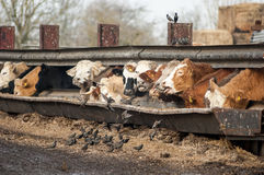 Cattle and starlings feeding Royalty Free Stock Images
