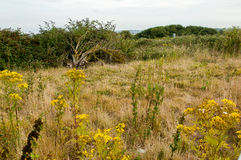 UK Habitats rough grassland. Rabbit grazed and dominated by fine grasses and ragwort (Senecio jacobaea Royalty Free Stock Photos
