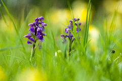 UK habitats species-rich grassland. With orchids, bluebells and cowslips Stock Photo