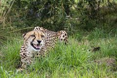 Cheetah, could be laughing, smiling or snarling royalty free stock photos