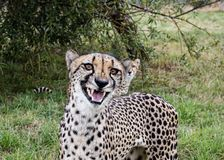 Cheetah, could be laughing, smiling or snarling stock photos