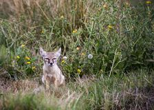 Corsac Fox cub stock photo
