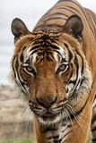 Male Malaysian tiger, close up royalty free stock images