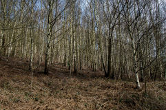 UK native habitats birch woodland Royalty Free Stock Photography