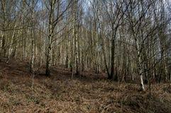 UK native habitats birch woodland. (Betula) in upland Britain Royalty Free Stock Photography