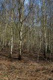 UK native habitats birch woodland Stock Photos