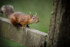 UK red squirrel on a farm gate Stock Photography