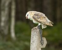 Barn Owl sits on a post eating royalty free stock images
