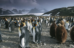 UK South Georgia Island colony of King Penguins  Stock Photos