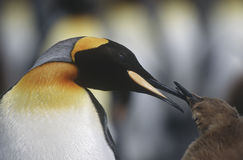 UK South Georgia Island King Penguin feeding chick close up Stock Photography